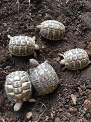 Landschildkröte hermanni hermanni