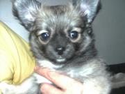 Langhaar Chihuahua Welpe