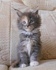 Maine Coon Kätzchen