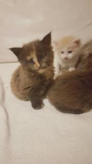 maine-coon kitten
