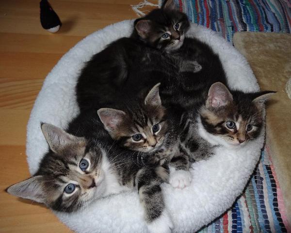 maine coon mix kitten katerchen in herrsching kaufen und verkaufen ber private kleinanzeigen. Black Bedroom Furniture Sets. Home Design Ideas