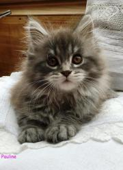 Maine Coons mit