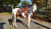 Mehrere Paint Horse