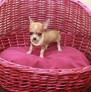 Mini Chihuahua Mädchen