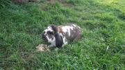 Mittelgroßes Kaninchen zu