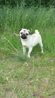 Mops Dame sucht
