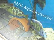 Nimbochromis venestus mit