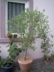 Olivenbaum 150 cm