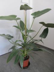 Olivenbaum, Ficus Benjamin,