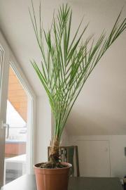 Palme (Phoneix canariensis)