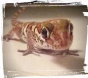 Paroedura Picta Geckos,