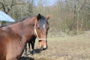 Pferd, Wallach, Warmblut