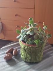 Pflanze (Sukkulente)