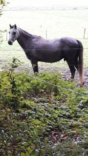 Pony Welsh Pony, Wallach, 4 Jahre, Mix, Stockmaß: 141 cm, Farbe: Apfelschimmel, Freizeit. Verkaufe ... 1.800,- D-45527Hattingen Welper Heute, 22:58 Uhr, Hattingen Welper - Pony Welsh Pony, Wallach, 4 Jahre, Mix, Stockmaß: 141 cm, Farbe: Apfelschimmel, Freizeit. Verkaufe