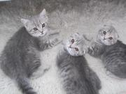 Reinrassige Kätzchen SF