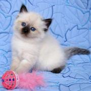 Reinrassige Siam Katzenbabys,