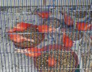 rote junge Kanarien