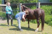 Schicke Welsh Pony