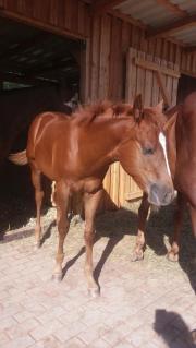 Schickes Quarter Horse