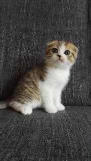 Scottish Fold Katzenbaby,