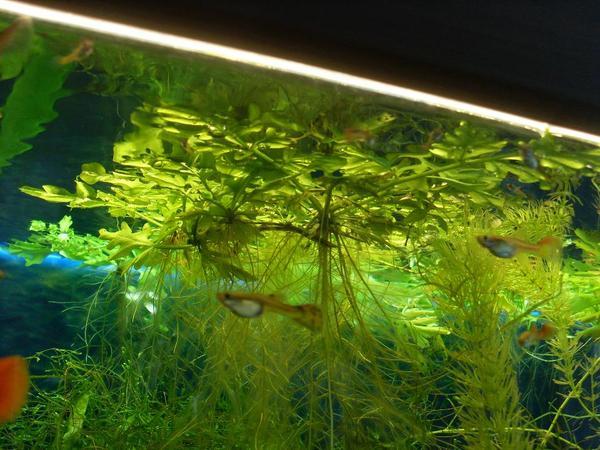 sehr sch ne schwimmpflanzen abzugeben in baden baden fische aquaristik kaufen und verkaufen. Black Bedroom Furniture Sets. Home Design Ideas