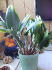 Seltene Orchidee zu