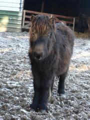 Shetland Pony ( mini