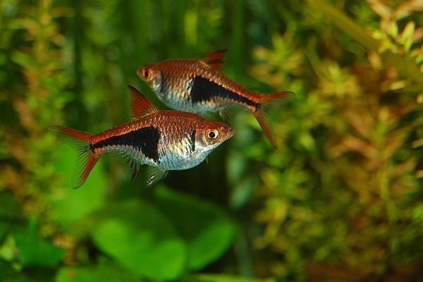 R sselbarben sternfleck gl hlichtsalmler fische for Welse teichfische