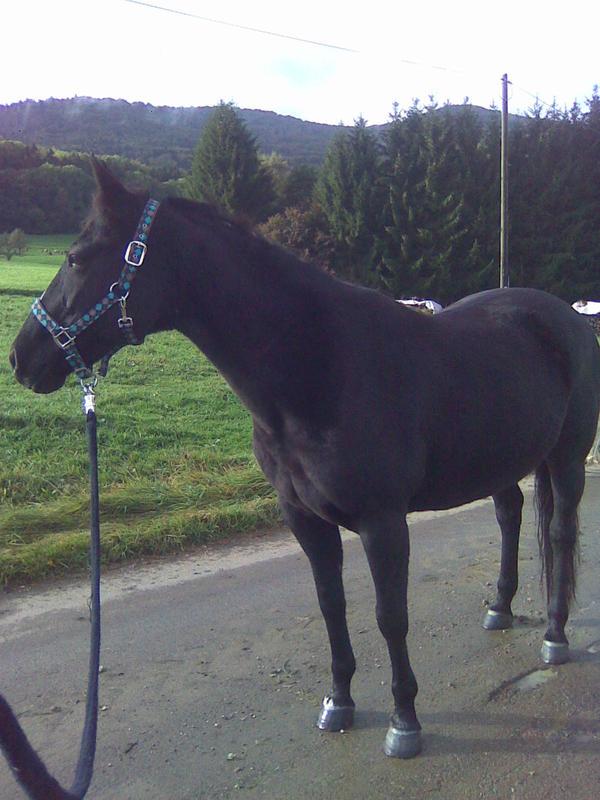 sportliche rappstute in bisingen pferde kaufen und. Black Bedroom Furniture Sets. Home Design Ideas