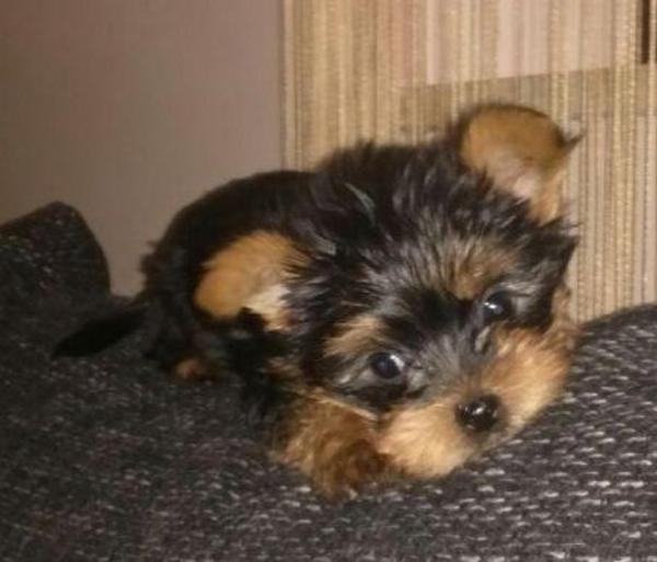 Su00fcu00dfe Mini Yorkshire Terrier Welpen Aus Liebevoller Hobbyzucht (DHS) In Nagel - Hunde Kaufen Und ...