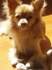 Süsser Chihuahua abzugeben ***