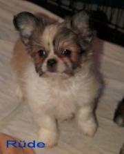 Süßer kleiner Chihuahua