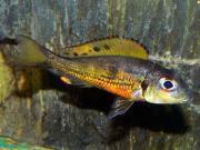 Tanganjika : Callochromis melanostigma -