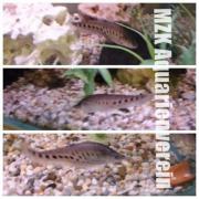 Tausenddollarfische Chitala Ornata