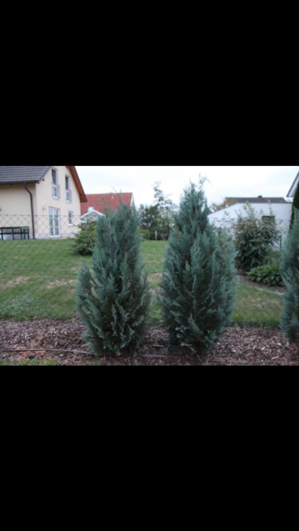 thuja lebensbaum scheinzypressen in hof pflanzen kaufen. Black Bedroom Furniture Sets. Home Design Ideas