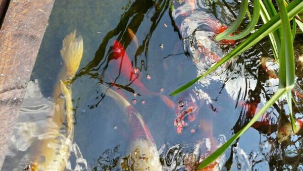 Goldfische kleinanzeigen aquarium fische zubeh r for Goldorfen futter