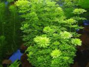 Verschiedene Wasserpflanzen / Schwimmpflanzen /