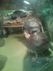 Wasser Schildkröten