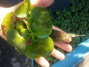 Wasserhyazinte,Wasserhyazinthen,Teichpflanze,