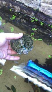 Wasserschildkröte (Mischling)