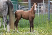 Welsh Pony Hengstfohlen (