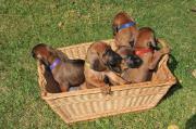 Wunderschöne Bayerische Gebirgsschweißhundewelpen (