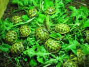 wunderschöne griechische Lanschildkröten