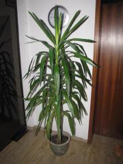 Yuccapflanze im Topf