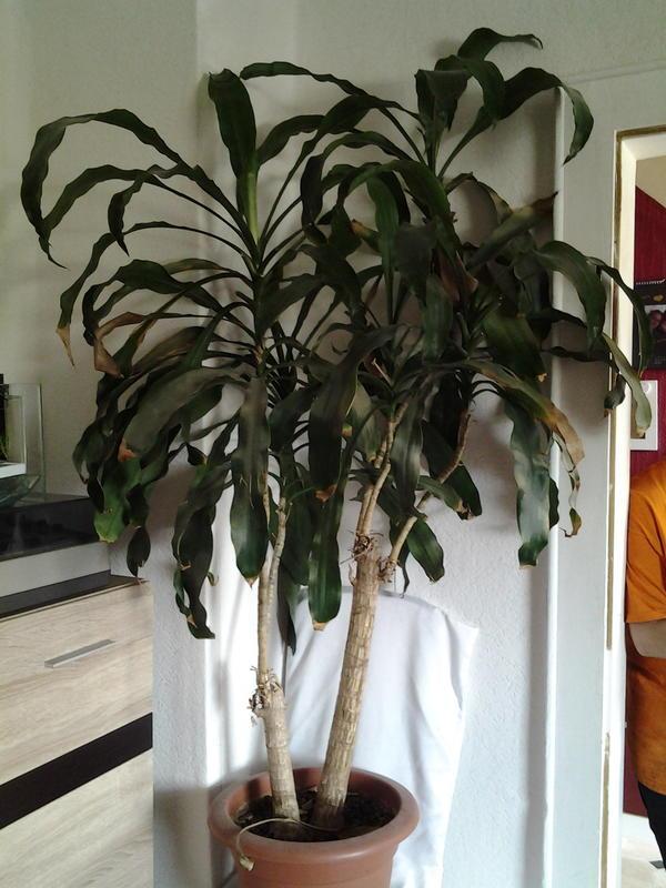 Zimmer palme in schl sselfeld pflanzen kaufen und for Pflanzen zimmer