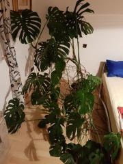 Zimmerpflanze Fensterblatt (monstera
