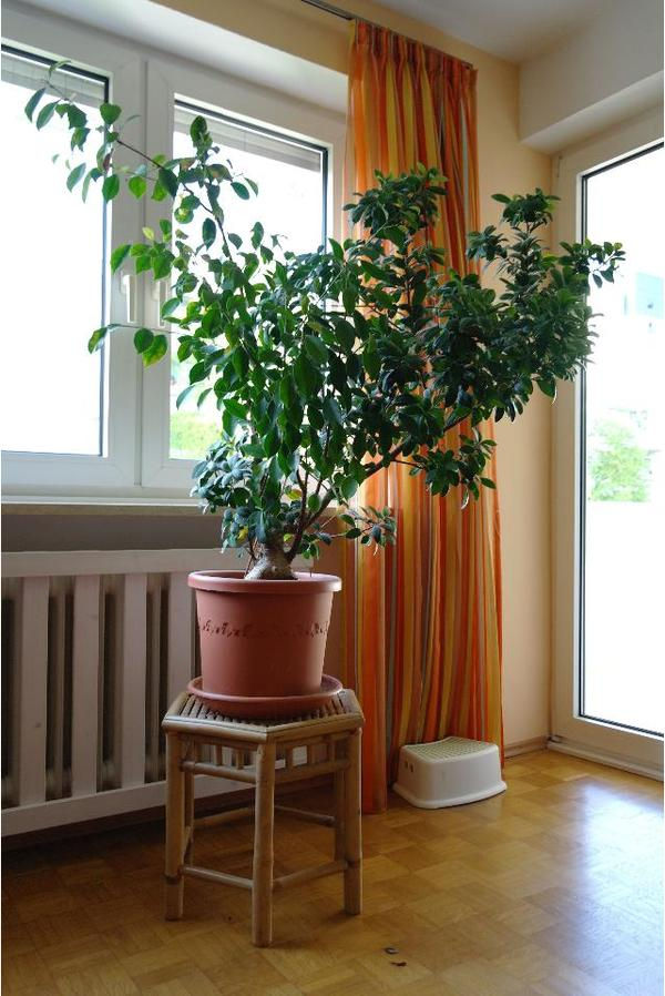 zimmerpflanze ficus microcarpa ginseng pseudo bonsai in. Black Bedroom Furniture Sets. Home Design Ideas
