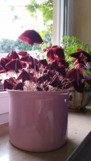 Zimmerpflanze mit Übertopf
