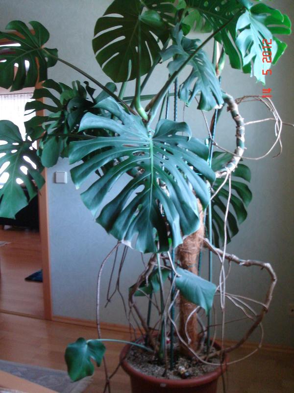 Zimmerpflanze monstera fensterblatt in otterbach pflanzen kaufen und verkaufen ber private - Zimmerpflanze monstera ...