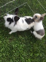 zwerg-/ Löwenkopf kaninchen